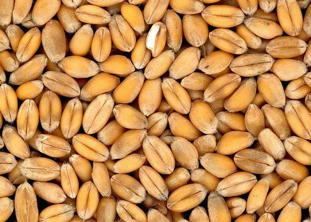 zrna pšenice
