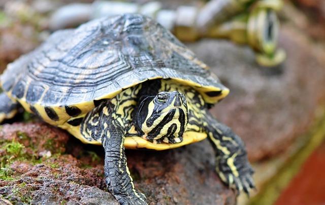 vodní želvička