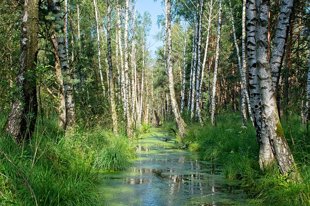 břízy v lese.jpg